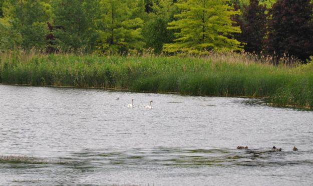 Image of theTrumpeter swans with seven cygnets at Milliken Park in Toronto, Ontario