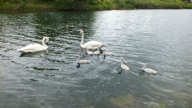 Image of trumpeter swans with seven cygnets on the pond at Milliken Park