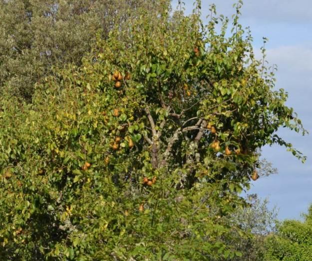 Bosc pears ripe at Il Colombaio di Cencio, Gaiole, Chianti, Tuscany, Italy