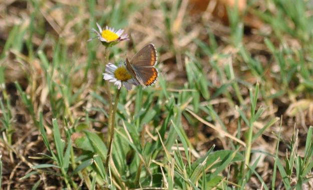 Image of a Brown Argus Butterfly, male, at Il Colombaio di Cencio, Gaiole, Chianti, Tuscany, Italy