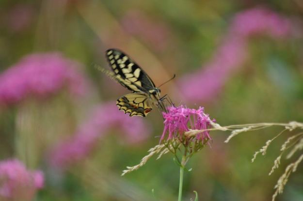 Image of a Corsican Swallowtail butterfly at Il Colombaio di Cencio in Gaiole, Chianti, Tuscany, Italy