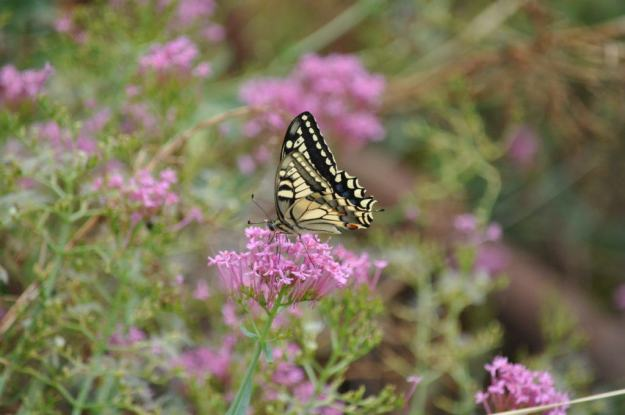 Image of a Corsican Swallowtail butterfly at Il Colombaio di Cencio, Gaiole, Chianti, Tuscany, Italy