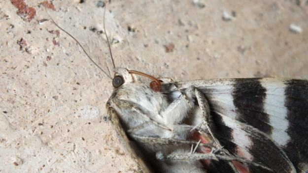 Close up of the head of a French Red Underwing Moth at Il Colombaio di Cencio, Gaiole, Chianti, Tuscany, Italy 5