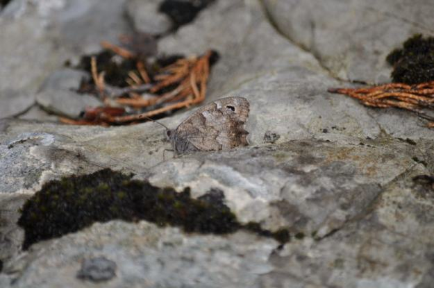 Image of a possible Grayling Butterfly at Il Colombaio di Cencio, Gaiole, Chianti, Tuscany, Italy