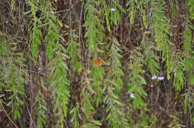 Image of a High Brown Fritillary Butterfly at Il Colombaio di Cencio, Gaiole, Chianti, Tuscany, Italy