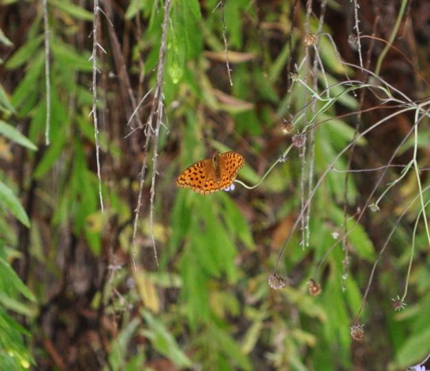 Image of a High Brown Fritillary Butterfly at Il Colombaio di Cencio, Gaiole, Chianti, Tuscany, Italy2