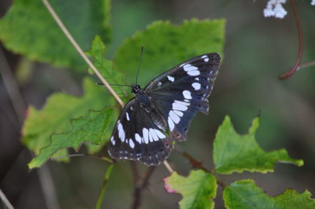 Image of Southern White Admiral Butterfly at Il Colombaio di Cencio, Gaiole, Chianti, Tuscany, Italy