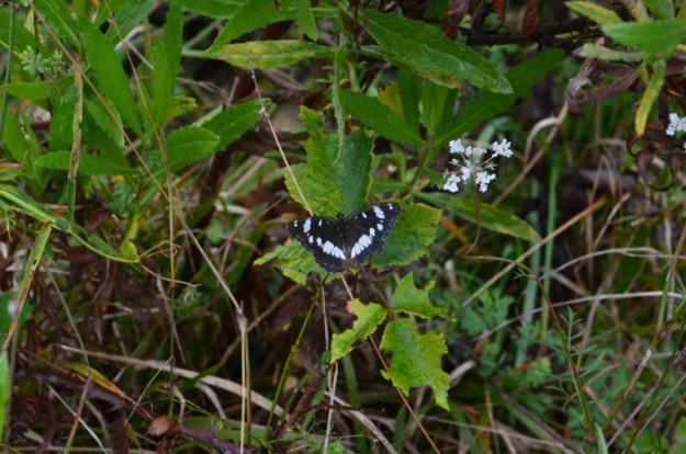Image of a Southern White Admiral Butterfly at Il Colombaio di Cencio, Gaiole, Chianti, Tuscany, Italy