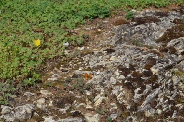 Image of a Wall Brown Butterfly male at Il Colombaio di Cencio, Gaiole, Chianti, Tuscany, Italy