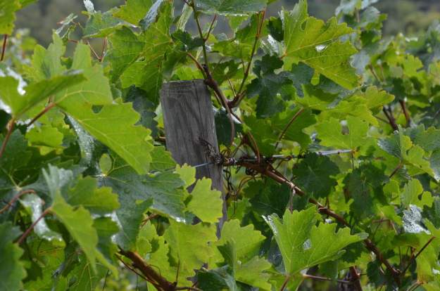 Image of a Woodland Grayling Butterfly at Il Colombaio di Cencio, Gaiole, Chianti, Tuscany, Italy