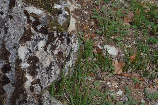 Woodland Grayling Butterfly at Il Colombaio di Cencio, Gaiole, Chianti, Tuscany, Italy