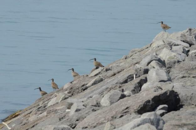 5 whimbrels along the lake ontario waterfront trail, ontario