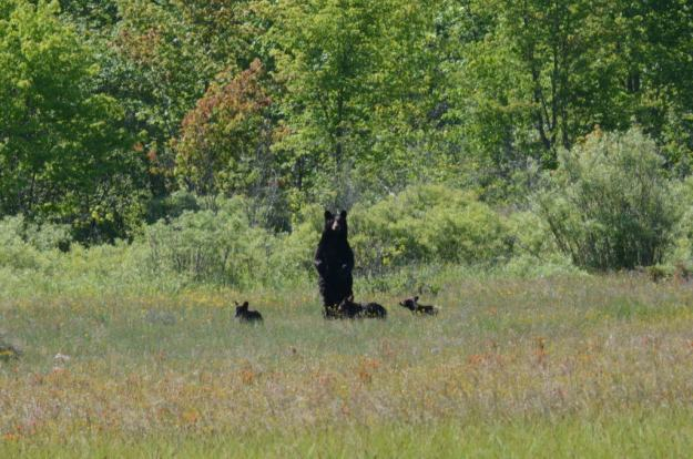black bear mom standup at carden alvar, ontario