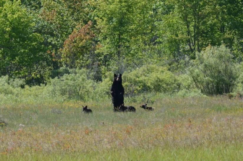 black bear mom standup at carden alvar, ontario