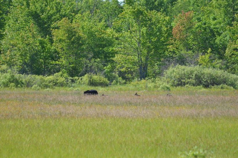 black bear with three cubs at carden alvar, cameron ranch, ontario, pic 5