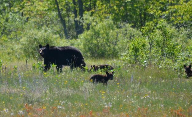 black bear with three cubs at carden alvar, cameron ranch, ontario, pic 8