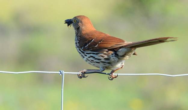 brown thrasher at carden alvar, cameron ranch, kawartha lakes, ontario, pic 4