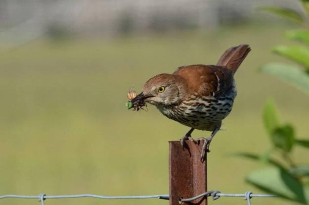 brown thrasher on fence post at carden alvar, cameron ranch, kawartha lakes, ontario, pic 1