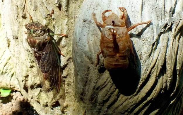 cicada sitting beside its exoskeleton in a garden in toronto, ontario