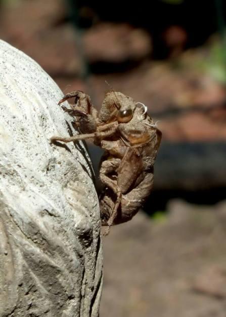 cicada exoskeleton in a garden in toronto, ontario