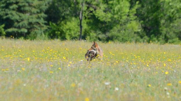 coyote with prey in mouth at carden alvar, cameron ranch, ontario