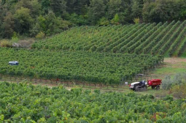grape vines growing in fields, ll colombaio di cencio Vineyard, gaiole in chianti, itay