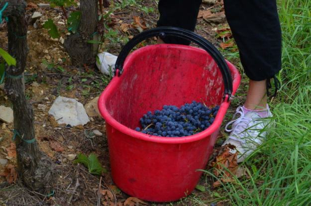 grapes in a bucket at il colombaio di cencio vineyard, gaiole in chianti, itay