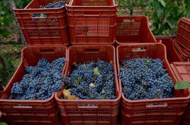 grapes in boxes aboard a grape wagon at il colombaio di cencio vineyard, gaiole in chianti, itay
