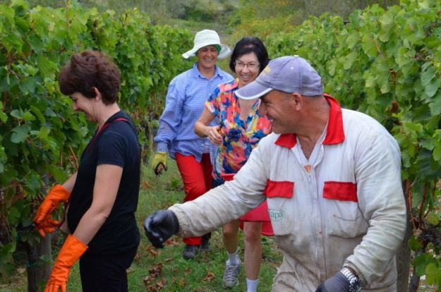 jean assists among the grape vines at il colombaio di cencio vineyard, gaiole in chianti, itay