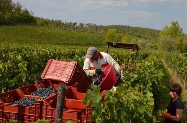 man dumps grapes into basket on grape wagon at il colombaio di cencio vineyard, gaiole in chianti, itay