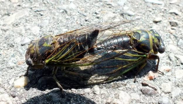 mating cicadas in toronto, ontario