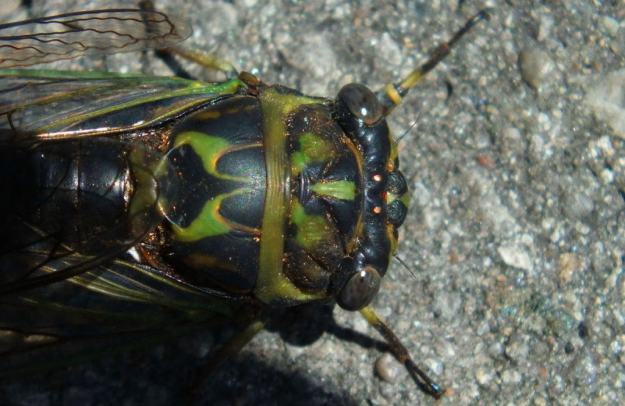 closeup of the top of a cicada's head in a garden in toronto, ontario