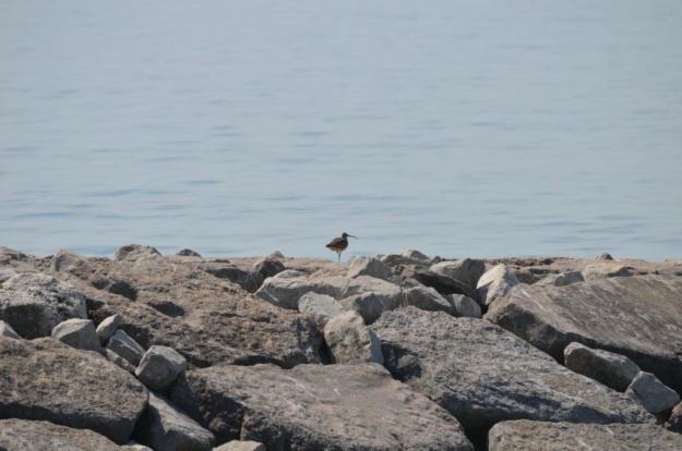 whimbrel along the lake ontario waterfront trail, ontario