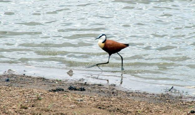 african-jacana-along-the-shore-at-sunset-dam-near-lower-sabie-rest-camp-in-kruger-national-park-south-africa-4
