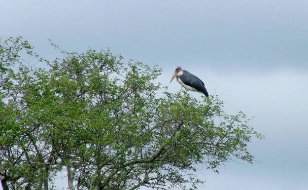 black-stork-sitting-in-a-tree-in-kruger-national-park-south-africa-1