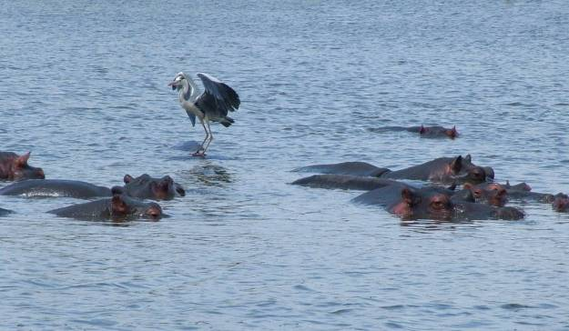 grey-heron-standing-on-a-hippopotamus-at-sunset-dam-near-lower-sabie-rest-camp-in-kruger-national-park-south-africa