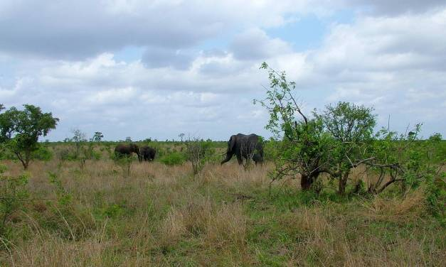 An image of a herd of African bush elephants at Kruger National Park. Photography by Frame To Frame - Bob and Jean.