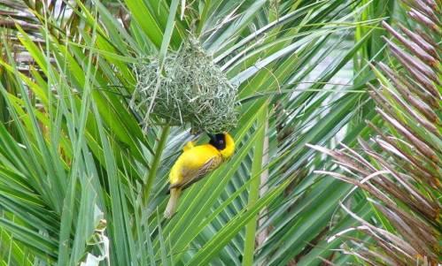 Image of a Lesser Masked Weaver building its nest at Skukuza Rest Camp arrival building in Kruger National Park.