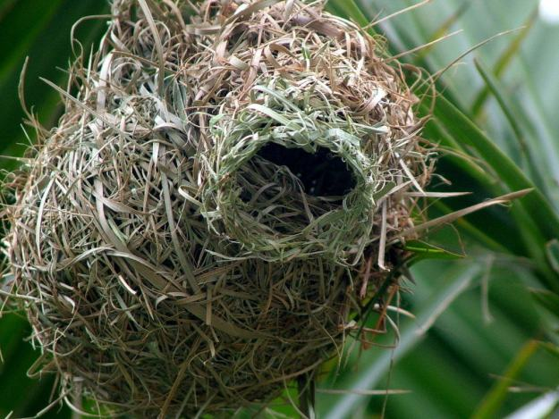 Image of a lesser-masked weaver nest at Skukuza Rest Camp in Kruger National