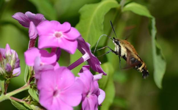 snowberry-clearwing-moth-oxtongue-lake-ontario-2
