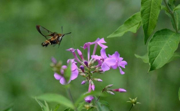 snowberry-clearwing-moth-oxtongue-lake-ontario-5