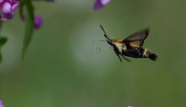snowberry-clearwing-moth-oxtongue-lake-ontario-9