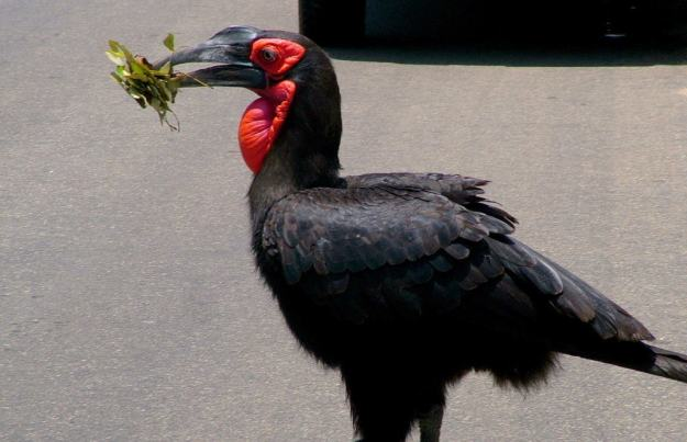 Photo of a Southern Ground Hornbill crosses roadway with leaves at Kruger National Park.