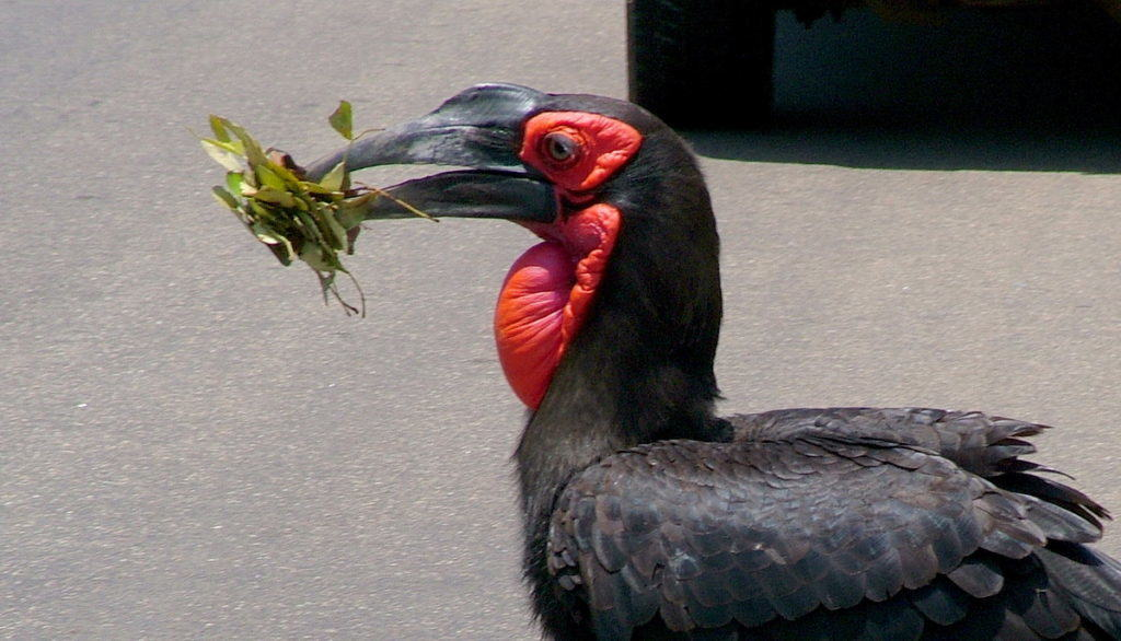 Photo of a Southern Ground Hornbill crossing road in Kruger National Park.