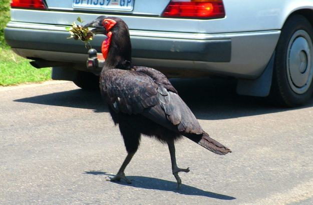 Photo of a Southern Ground Hornbill crosses roadway will holding leaves at Kruger National Park.