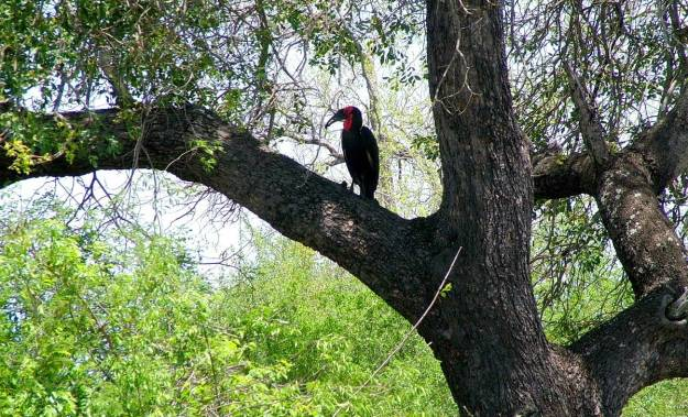 An image of a Southern Ground Hornbill sitting on a tree limb in Kruger National Park, South Africa. Photography by Frame To Frame - Bob and Jean.