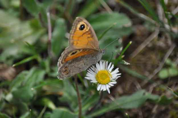 Image of Large Wall Brown Butterfly female in Tuscany