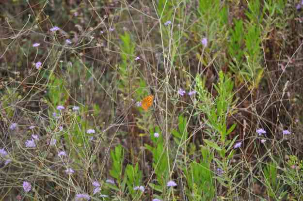 Image of an Unknown Fritillary Butterfly at Il Colombaio di Cencio, Gaiole, Chianti, Tuscany, Italy