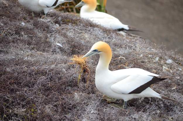 australasian-gannet-collects-nesting-material-at-the-muriwai-gannet-colony-waitakere-new-zealand