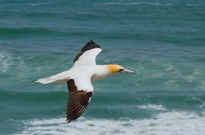 australasian-gannet-in-flight-above-the-muriwai-gannet-colony-waitakere-new-zealand-pic-3